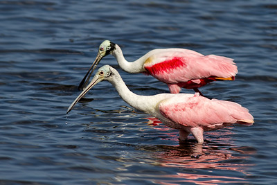 Juvenile and Adult Roseate Spoonbill - Merritt Island Wildlife Refuge