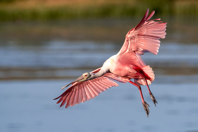 Roseate Spoonbill flying over the Orlando Wetlands Park