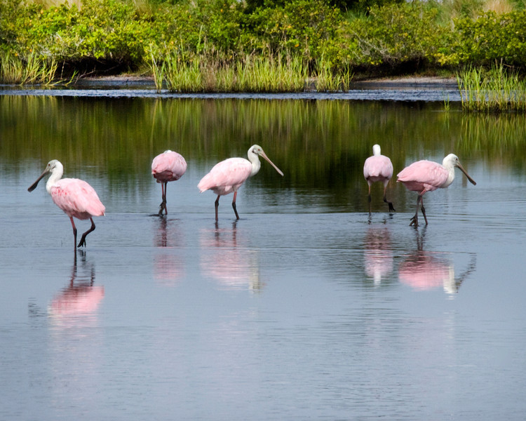 Roseate Spoonbill group at Merritt Island Refuge