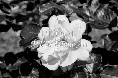 26. 2024-5 Above All Rose in Black and White