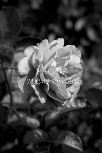 23. 2025-1 Bordeaux Rose in Black and White