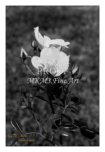 26. 2029-1 Coral Meidiland Rose in Black and White