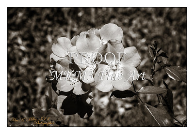 22. 2029-1 Coral Meidiland Rose in Black and White