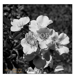 20. 2029-1 Coral Meidiland Rose in Black and White
