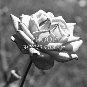 22. 2027-4 Christian Dior Rose in Black and White