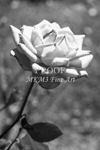 21. 2027-4 Christian Dior Rose in Black and White