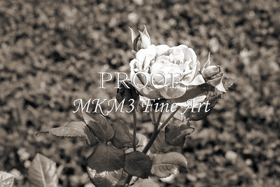 24. 2025-3 Heirloom Rose in Black and White