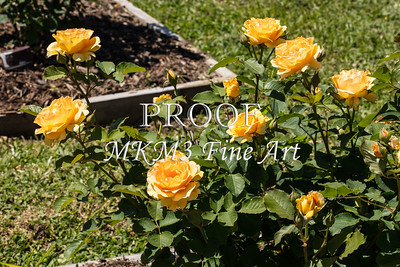 02 2023-7-Honey Perfume Rose in Color