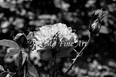25 2022-3 Olympiad Rose in Black and White