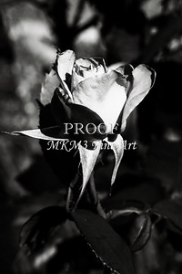 24 2022-3 Olympiad Rose in Black and White