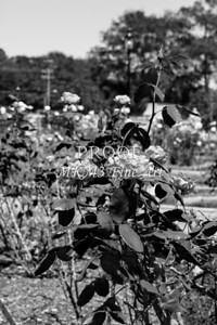 22 2022-3 Olympiad Rose in Black and White