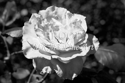 20 2022-3 Olympiad Rose in Black and White