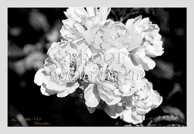 21.2030-1 Pink Grootendorst Rose in Black and White