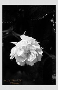 23.2030-1 Pink Grootendorst Rose in Black and White