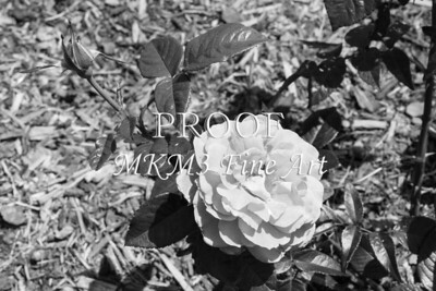 42. 2027-2 Pretty Lady Rose In Black and White