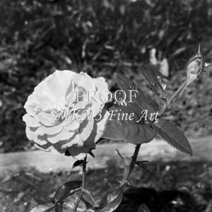 41. 2027-2 Pretty Lady Rose In Black and White