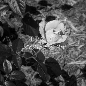 45. 2027-2 Pretty Lady Rose In Black and White