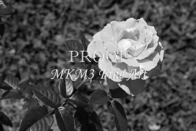 40. 2027-2 Pretty Lady Rose In Black and White