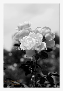 32. 2028-5 Queen of Sweden Rose in Black and White