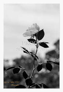 33. 2028-5 Queen of Sweden Rose in Black and White