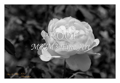 30. 2028-5 Queen of Sweden Rose in Black and White