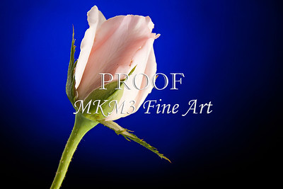 Pink Rose Bud Blue Background 0636.60