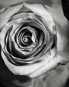11.1957 Pink Rose Art Photograph