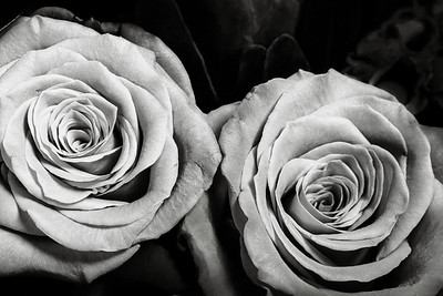10.1957 Pink Rose Art Photograph