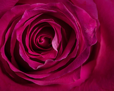 09.1957 Pink Rose Art Photograph