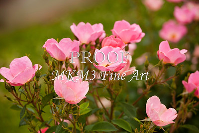 Small Pink Roses in Garden 8881