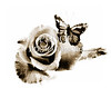 Rose flower and Butterfly Painting in Sepia 3184.01