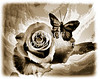 Single Open Rose flower Butterfly in Sepia 3188.01