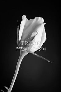 Soft Rose Bud Black and White 0637.00