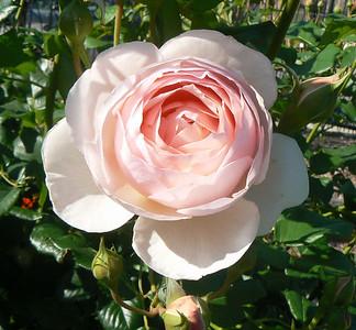 Roses Favorite