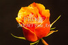 Orange Rose Wall Art Decor 1625.53