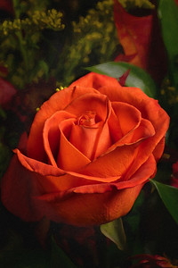 02.1957 Orange Rose Art Photograph