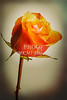 Orange Rose Canvas Print 1625.561