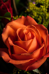 08.1957 Orange Rose Art Photograph