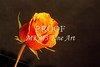 Large Wall Art Orange Rose 1625.55