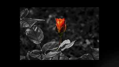 Rose_Video_No _1_1080p