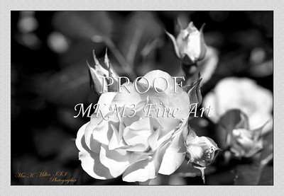 20.2029-3 Scarlet Meidiland Rose in Black and White