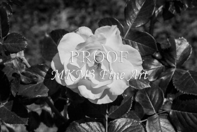 23. 2024-4 Sparkle and Shine Rose in Black and White