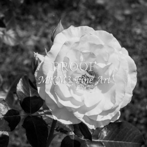 20. 2024-4 Sparkle and Shine Rose in Black and White