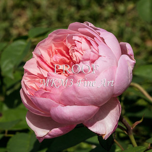 07. 2024-3 The Alnwick Rose in Color