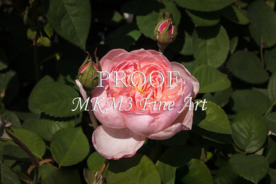 04. 2024-3 The Alnwick Rose in Color