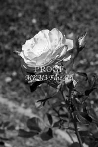 34. 2028-1 Wild Blue Yonder Rose in Black and White