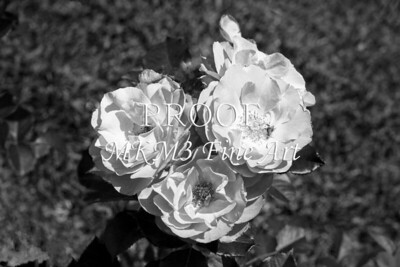 30. 2028-1 Wild Blue Yonder Rose in Black and White