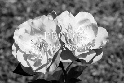 39. 2028-1 Wild Blue Yonder Rose in Black and White
