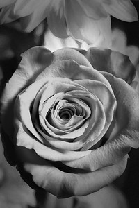 07.1957 Yellow Rose Art Photograph