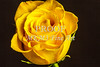 Yellow Rose Image On Black Wall Art 1625.01